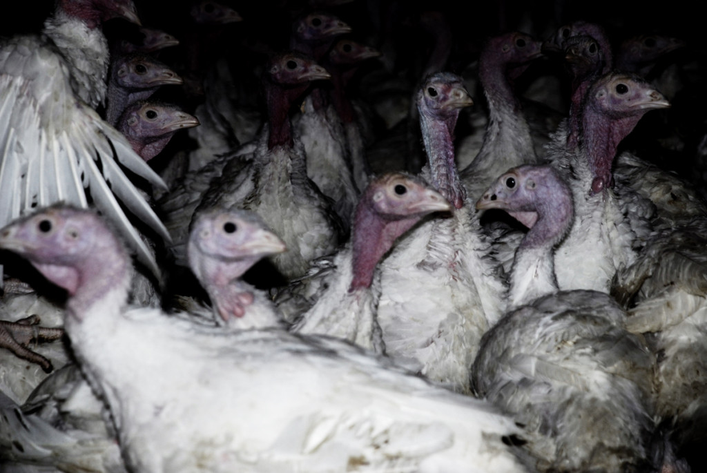Young factory-farm turkeys