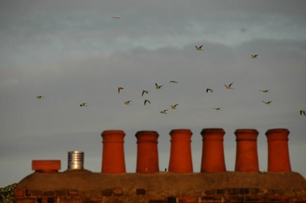 Parakeets London