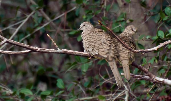 Inca Doves
