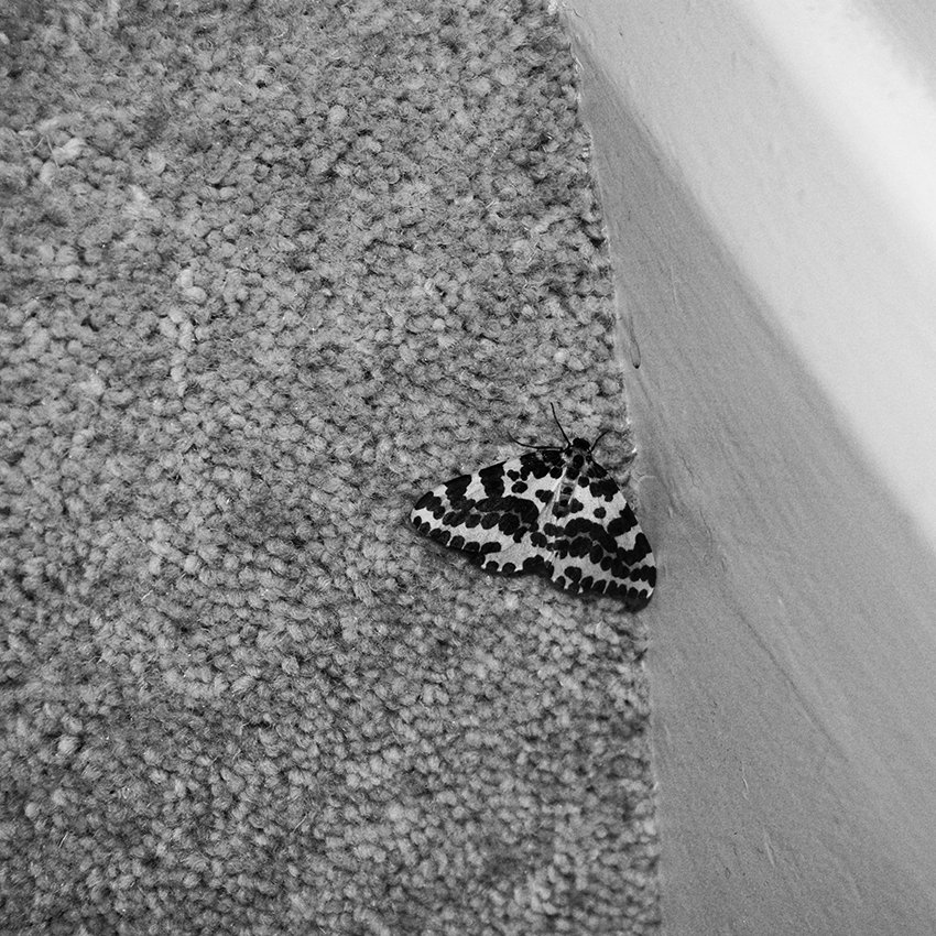 The Death of a Beautiful Subject (4) - Magpie moth