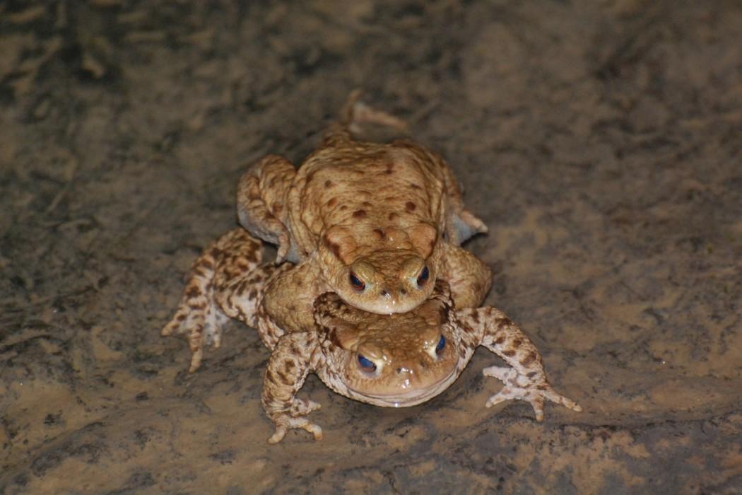 Toads breeding