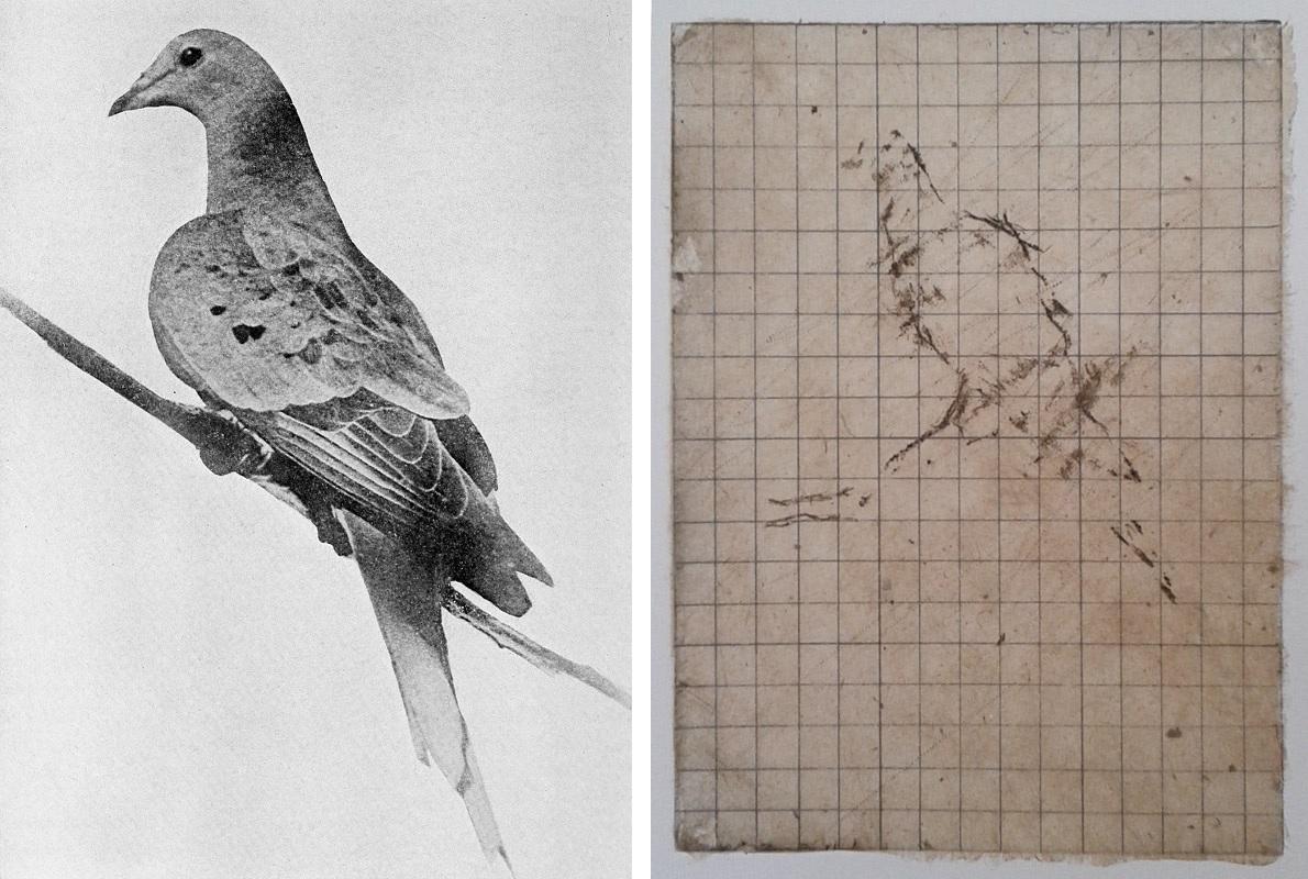Pigeons extinction