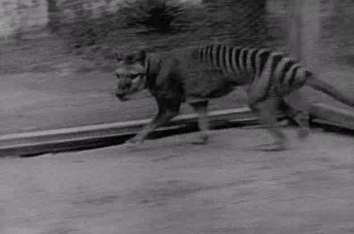 Thylacine extinction