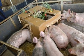 VIDEO: Pigs at Play