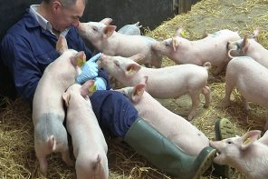 How do we improve the lives of pigs?