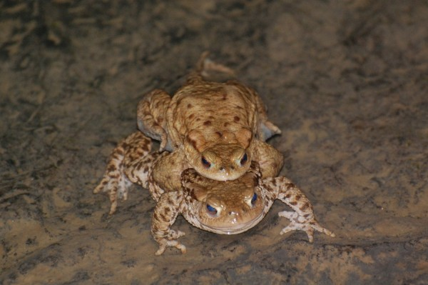 Toads breeding
