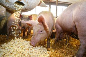 Pig Dreams Pig Life
