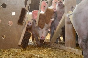 What is it like to be a pig?